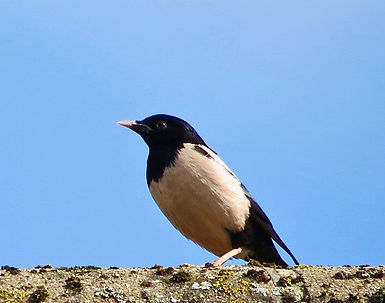 Rose-coloured Starling 02, Stone, 19:7:2