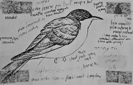 Yellow-billed Cuckoo, LAT 02, Portland,