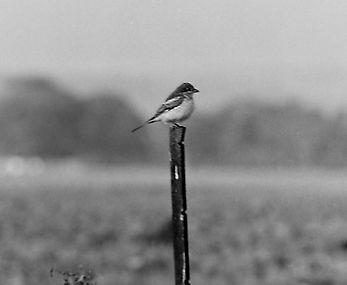 Woodchat Shrike 03a, Pagham, 26_9_76.jpg