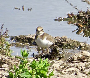 Little Ringed Plover 18913-15, juv, Slim