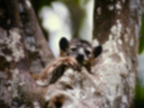 White-footed Sportive Lemur 04, Berenty,