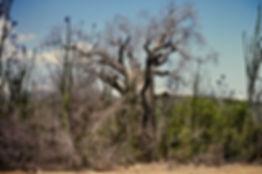 Fony Baobab, Adansonia rubrostipa 01a, S