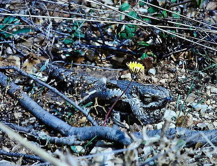 Nightjar 05a, Turkey, 24-9-88.jpg