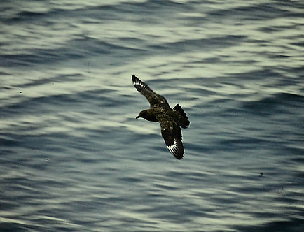 Great Skua 02a, Shetland, 16-7-77.jpg