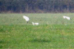 Cattle Egret 102a, Slimbridge, 30_10_16.