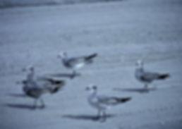 Laughing Gull 05a, Carolina, 31-10-87.jp