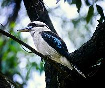 Laughing Kookaburra 03a, NSW, Oz, 4-12-9