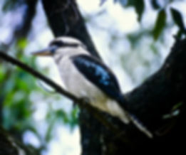 Laughing Kookaburra 03a, NSW, Oz, 4-12-9