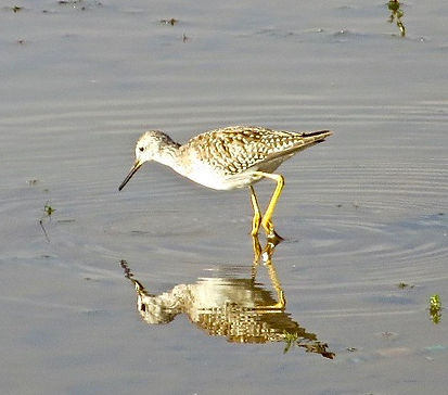Lesser Yellowlegs 105a, Cheddar Res, 25_