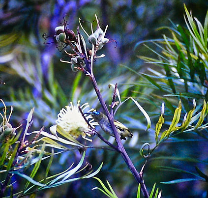Sunbird Asity 02a, Perinet, Madagascar,