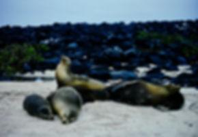 Galapagos Sea Lion 03a, Galapagos, 26_7_
