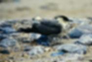 Long-tailed Skua 02a, Dawlish Warren, 20