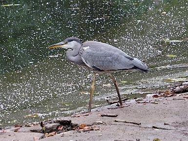 Grey Heron 17_7-01, Snuff Mills, 19_7_17