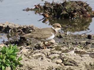 Little Ringed Plover 18913-11, juv, Slim