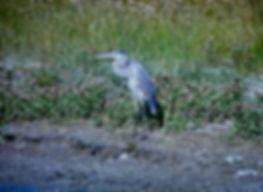 Great Blue Heron 01a, Virginia, 18-10-87