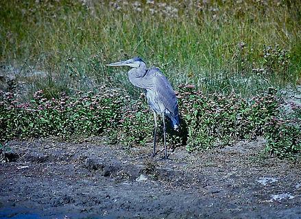 Great Blue Heron 01a, Virginia, 18-10-87