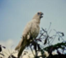 Little Corella 05a, Kakadu, 29_11_93.jpg