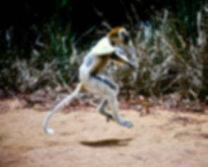 Verreaux's Sifaka 25a, Berenty, Madagasc