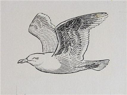 Glaucous Gull, LAT.jpg