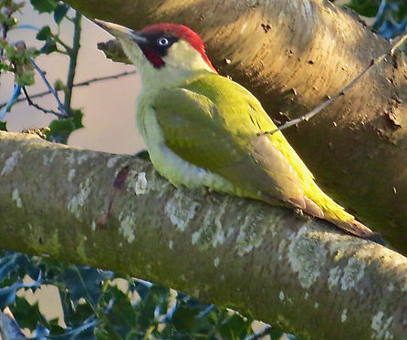 Green Woodpecker 08, Elm Lodge, 2-4-21.j
