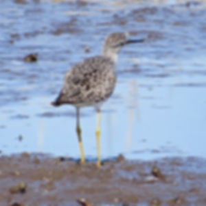 Lesser Yellowlegs 190326-29, Lodmoor.jpg