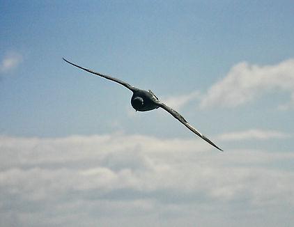 Cape Petrel 04a, Stewart Is NZ, 17-11-93