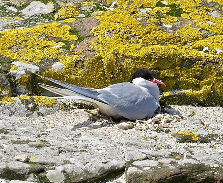 Arctic Tern 01, Farne Islands, 6_6_19.jp