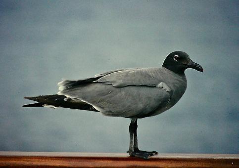 Lava Gull 05a, Plaza, Galapagos, 26-7-86