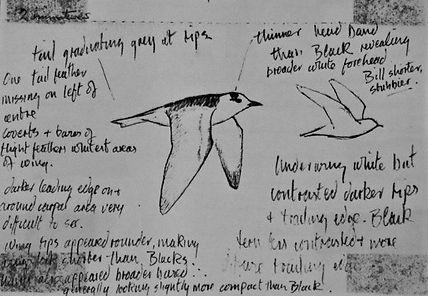 White-winged Black Tern, LAT, CVL, 8-9-7