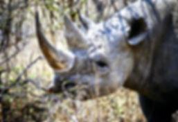 Black Rhinoceros 12a, Zimbabwe, 9_98.jpg