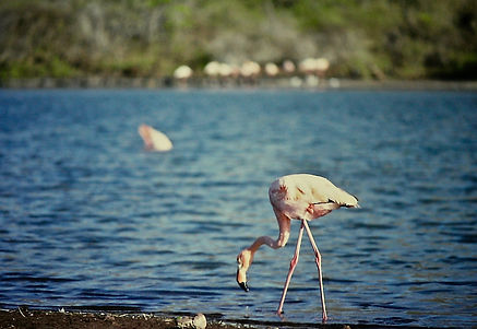 Galapagos Flamingo 01a, Jervis, 27-7-86.