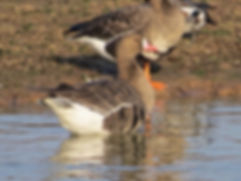 White-fronted Goose 181122-3, Slimbridge