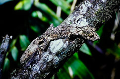 Leaf-tailed Gecko 02a, Ranomafana, 15_11