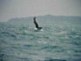 Kelp Gull 02a, Stewart Is NZ, 18-11-93.j