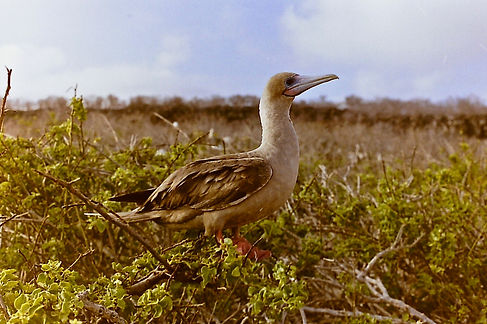 Red-footed Booby 21a, Tower, Galapagos,