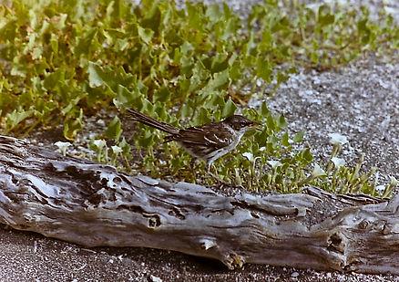 Galapagos Mockingbird 02a, Fernandina, G
