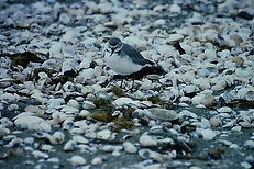 Wrybill 01bb, New Zealand, 1:93.jpg
