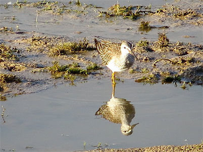 Lesser Yellowlegs 108a, Cheddar Res, 25_