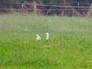 Cattle Egret 103a, Slimbridge, 30_10_16.