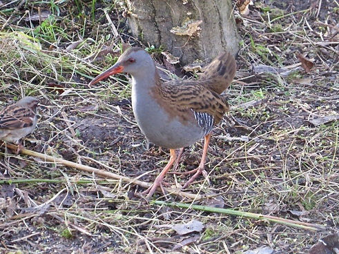 Water Rail 190108-03, Slimbridge.jpg