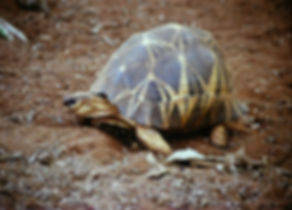 Radiated Tortoise 02a, Berenty, Madagasc