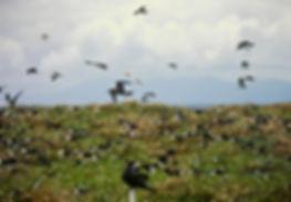 Sooty Tern 01a, Michaelmas Cay, Aust, 18