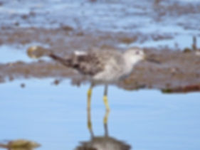 Lesser Yellowlegs 190326-15, Lodmoor.jpg