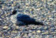 Long-tailed Skua 01a, Dawlish Warren, 20