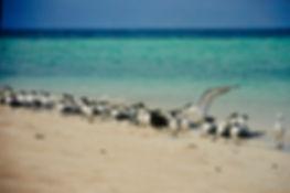 Crested Tern 01a, Michaelmas Cay, Aust,