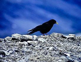 Alpine Chough 01a, N. Italy, 8_97.jpg