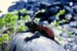 Marine Iguana 11a, Hood, Galapagos, 25-7