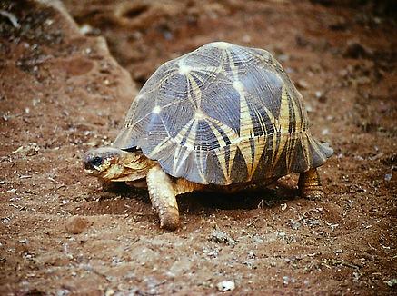 Radiated Tortoise 03a, Berenty, Madagasc