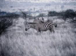 Common Zebra 02a, Kenya, 12_88.jpg