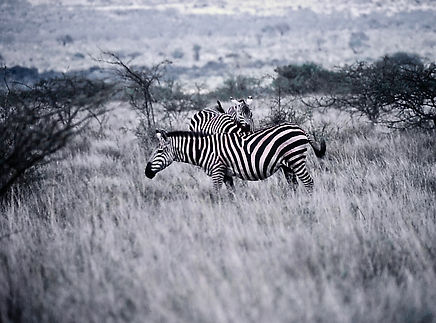 Common Zebra 02a, Kenya, 12_88.jpg